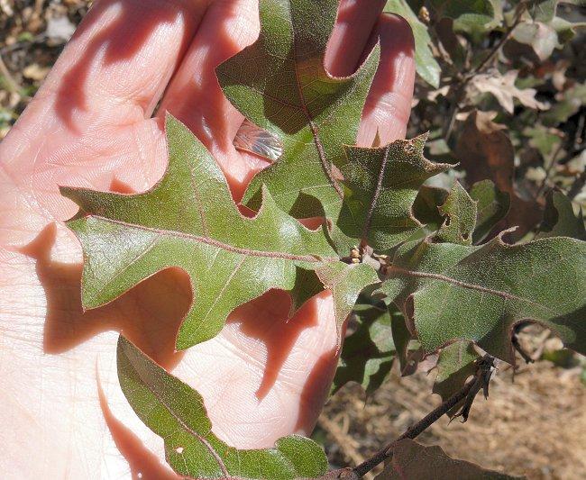 5-oak-leaves