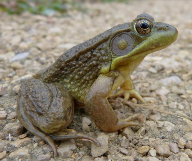 Green Frog 8-7-13 3
