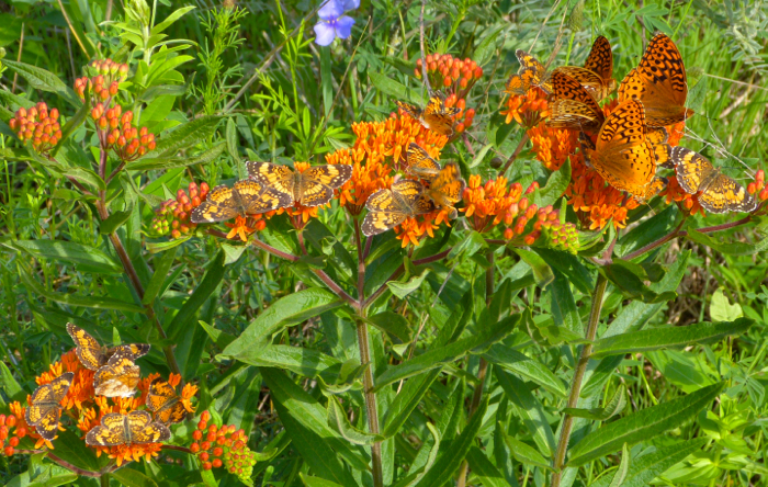 butterflies on butterflyweed 6-28-14 2