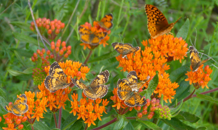 butterflies on butterflyweed 6-28-14