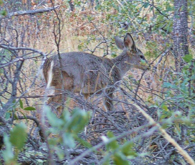 carmen-mountains-white-tailed-deer