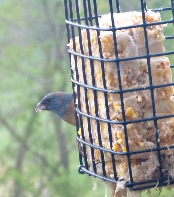 unknown bird 5-19-13 1