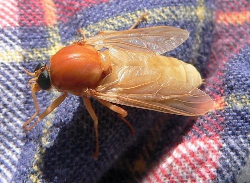 http://www.aprairiehaven.com/wp-content/uploads/2009/05/Coenomyia-ferruginea-5-27-07.jpg