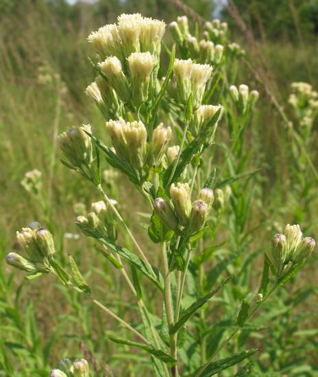 Kuhnia eupatorioides
