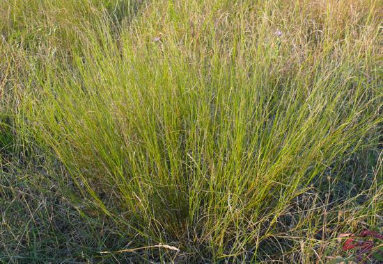 Muhlenbergia cuspidata