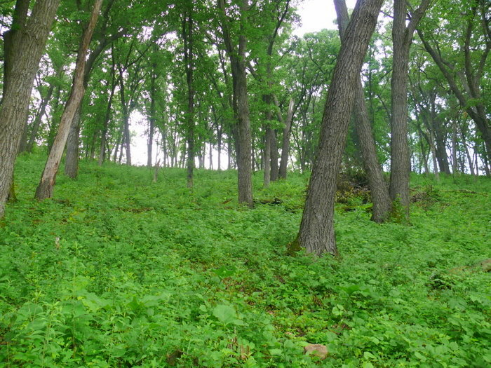 Oak Woods And Prairies This is The Oak Woods