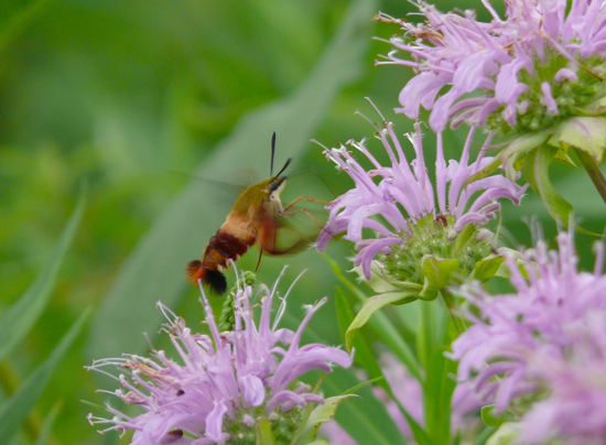 Hemaris sp.