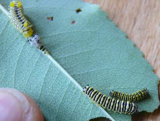 Callosamia promethea caterpillars