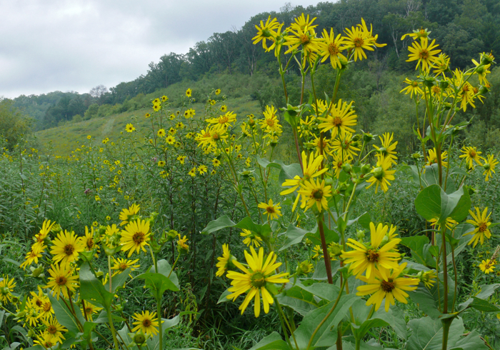 Plants Profile for Helianthus giganteus giant sunflower