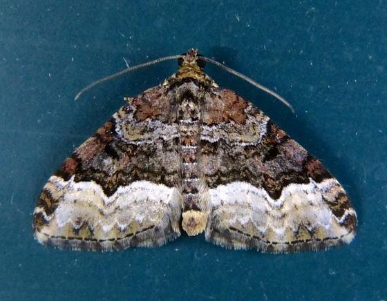 Euphyia intermediata Sharp angled Carpet 8-4-13