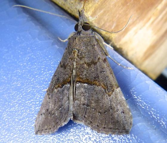 Hypena scabra Green Cloverworm 8-4-13