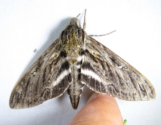 Lintneria eremitus 7-17-13 1