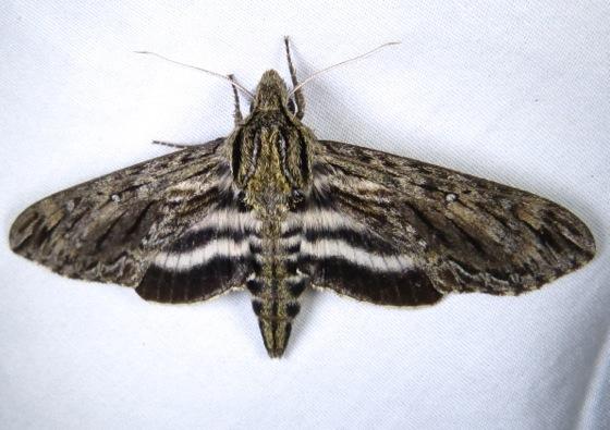 Lintneria eremitus 7-22-13 1