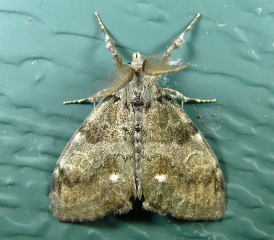 Orgyia Leucostigma White Marked Tussock Moth