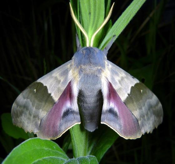 Pachysphinx modesta 6-7-13 1