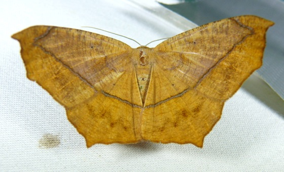 Prochoerodes lineola 8-5-11 2
