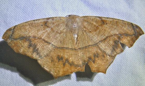 Prochoerodes lineola 8-8-10 1