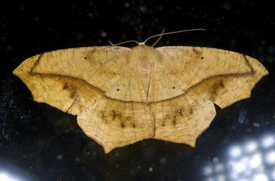 Prochoerodes lineola 9-7-13 1