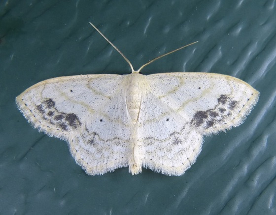 Scopula Limboundata Large Lace Border Moth Prairie Haven