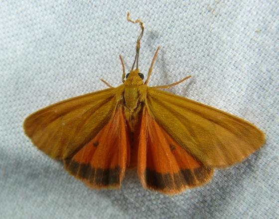 Virbia aurantiaca 8-21-11 1
