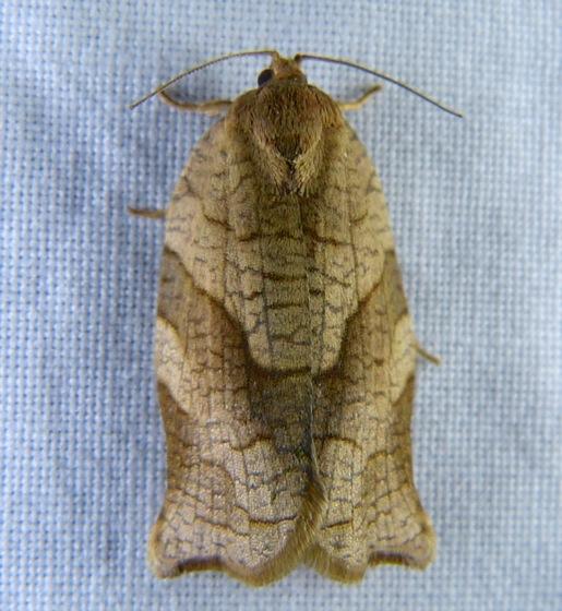 Choristoneura rosaceana 6-5-12 1