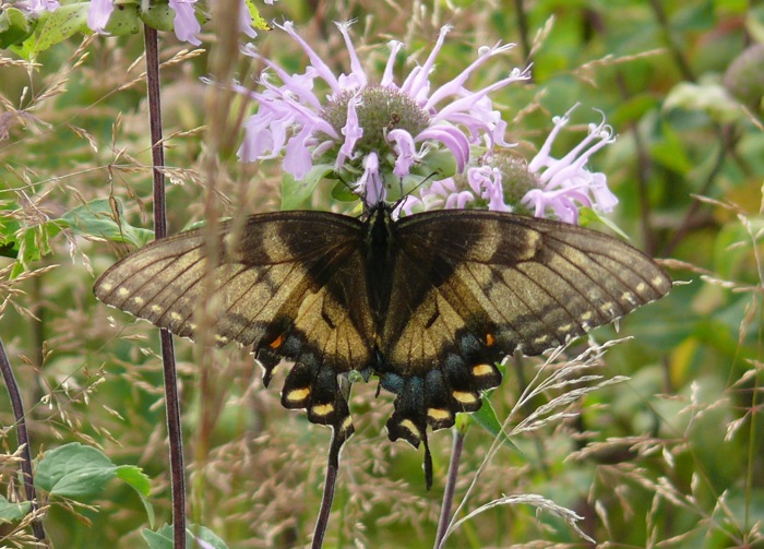 unusual tiger swallowtail 8-5-11 1