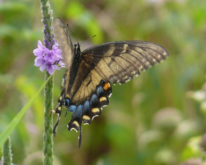 unusual tiger swallowtail 8-5-11 3