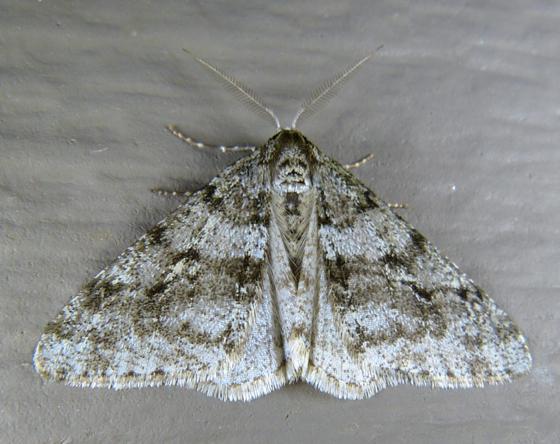 Phigalia strigataria T 5-5-13 1