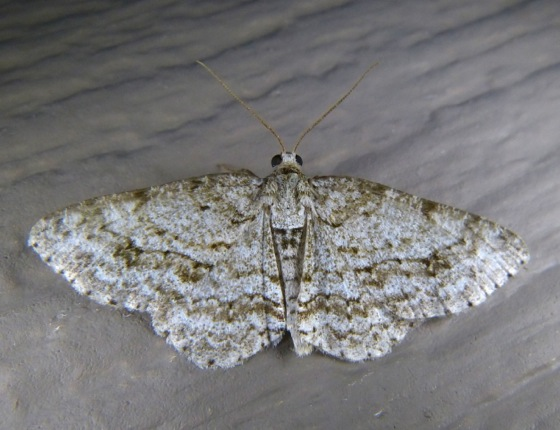 Ectropis crepuscularia Small Engrailed 8-4-13
