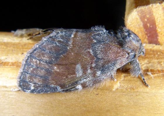 Peridea ferruginea 6-27-13 1