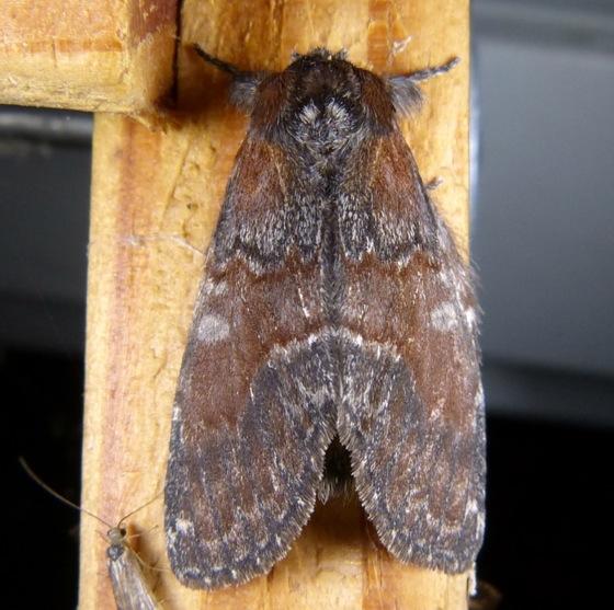 Peridea ferruginea 6-27-13 2