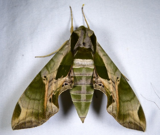 Eumorpha pandorus 7-10-13 1