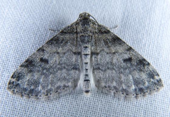 Lobophora nivigerata 5-16-13 1