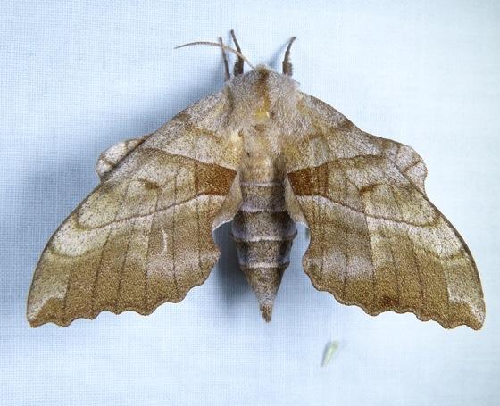 Amorpha juglandis 6-5-12 1