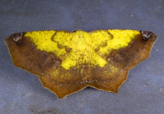Antepione thisoaria 8-10-13 2