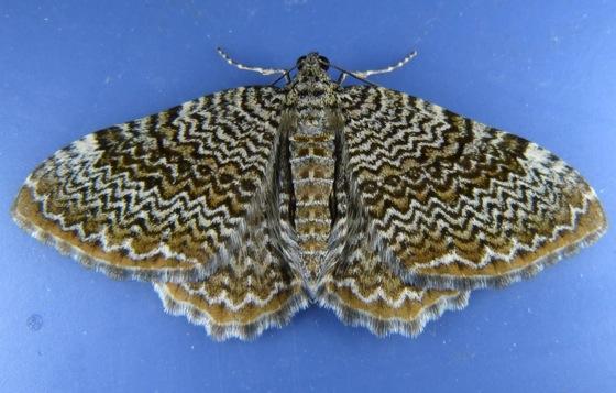 Rheumaptera Scallop Shell 8-4-13 1