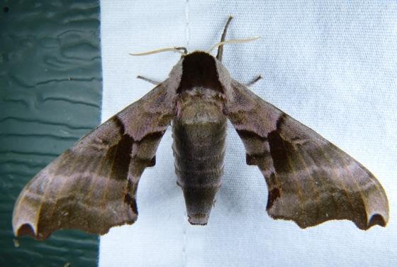 Smerinthus jamaicensis 8-1-13 1