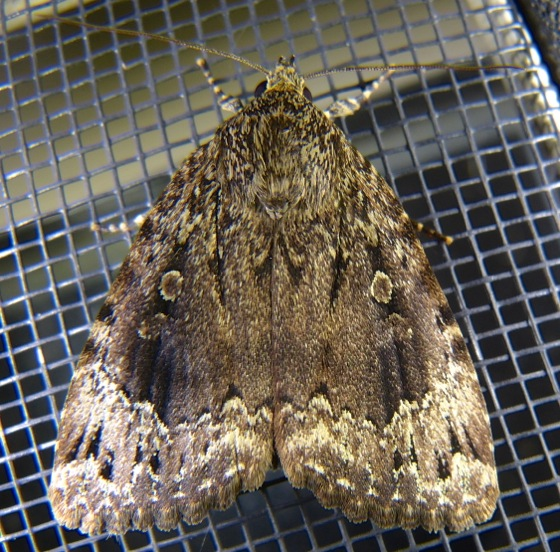 Amphipyra Pyramidoides Copper Underwing Prairie Haven