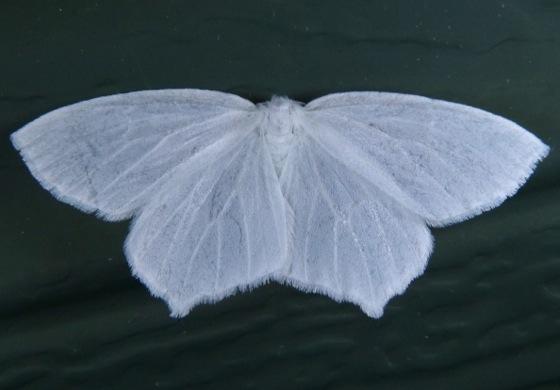 Eugonobapta nivosaria 7-15-13 1