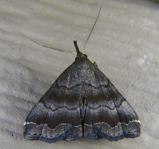 Phalaenostola larentioides 6-23-12 1