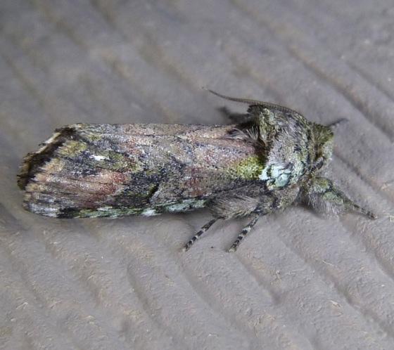 Schizura unicornis 8-8-13 1