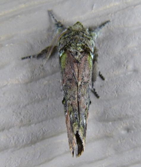 Schizura unicornis 8-8-13 2