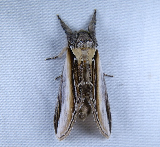 Pheosia rimosa 7-10-13 2