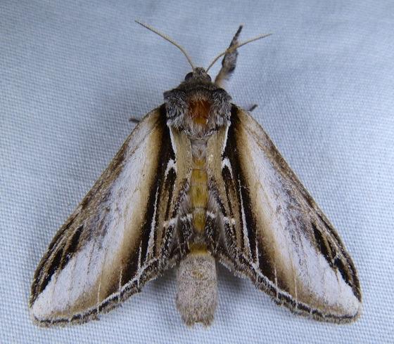 Pheosia rimosa 8-5-13 1