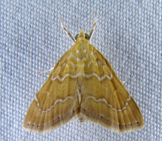 Glaphyria sequistrialis 8-8-13 1