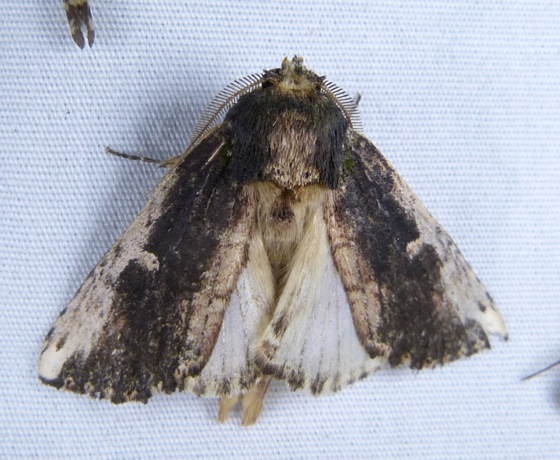 Schizura iponoeae 7-12-13 1