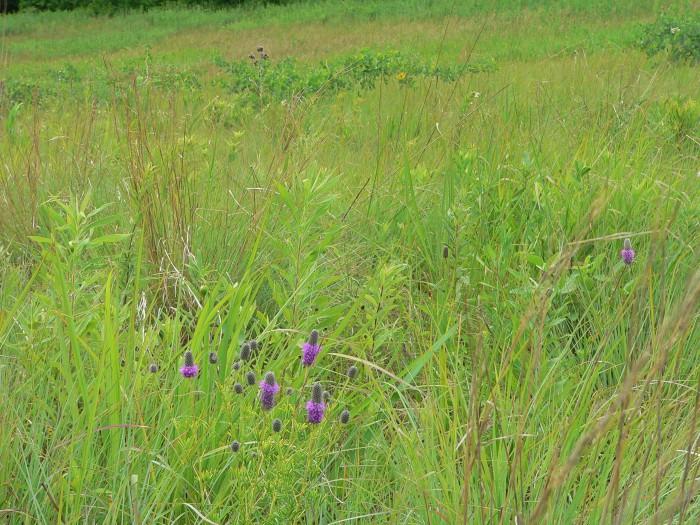 7-2-07 purple prairie clover