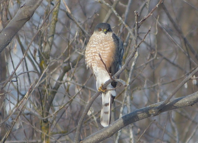 sharp-shinned hawk 2-22-13