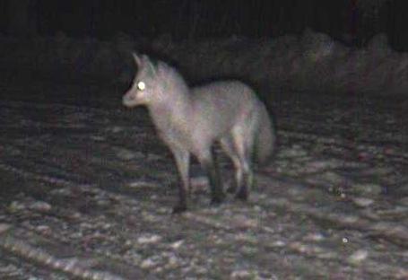 3-2-13 red fox 1