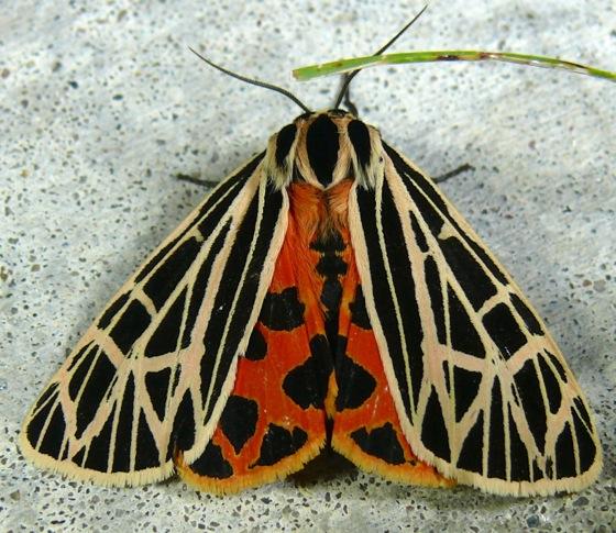 Grammia Virgo Virgin Tiger Moth Prairie Haven